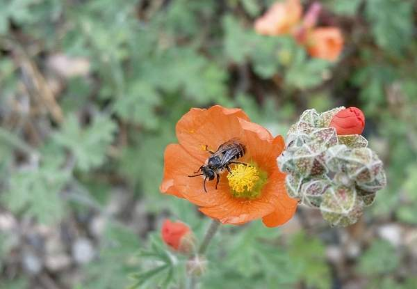 Diadasia bees on Globe Mallow flowers. (Courtesy of Ron Bitner)